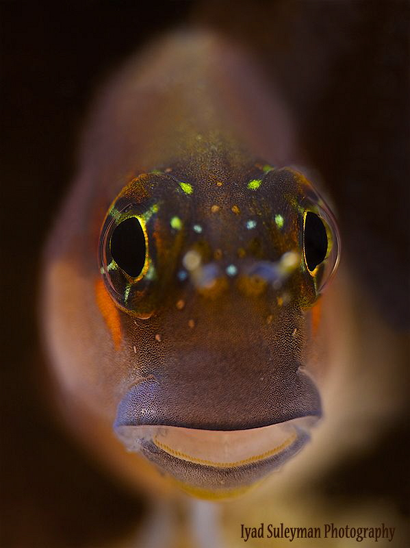 Blenny by Iyad Suleyman