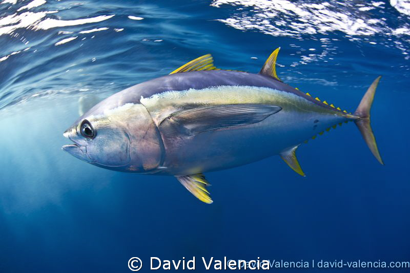 A Yellowfin Tuna was running from some false killer whale... by David Valencia
