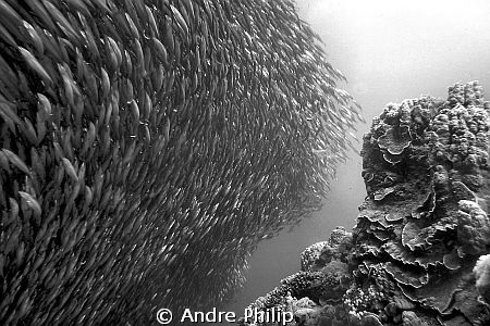 "baitball of sardines on the edge of ""Panorama""-Reef by Andre Philip"