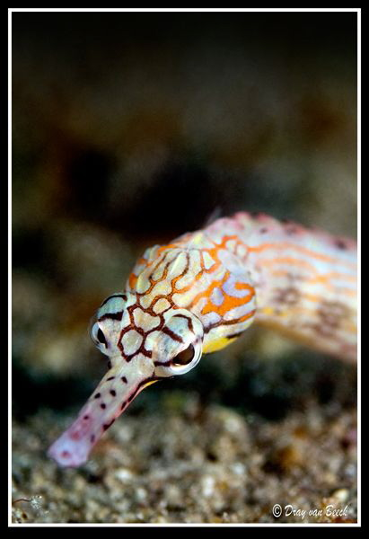 pipefish by Dray Van Beeck