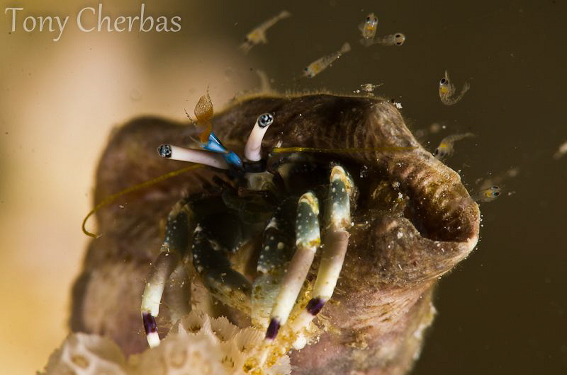 Tiny Hermit Crab releases its hatchlings before the full ... by Tony Cherbas