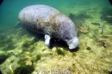 Manatee at Crystal River FL by Ray Eccleston