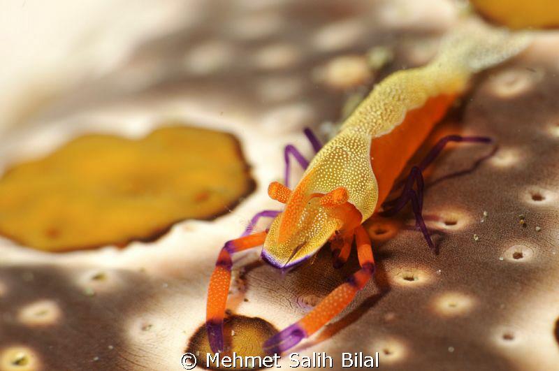 Imperior shrimp on the sea cucumber. by Mehmet Salih Bilal