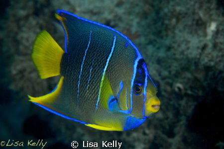 Juvenile Queen Angelfish by Lisa Kelly