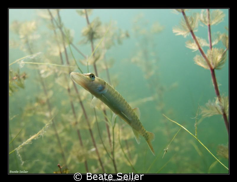 Baby pike by Beate Seiler