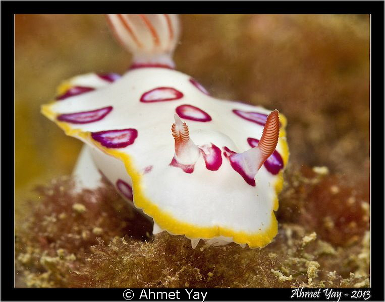 Pink spotted nudi... Canon 600D - Canon 60 mm - 2xYS-D1... by Ahmet Yay
