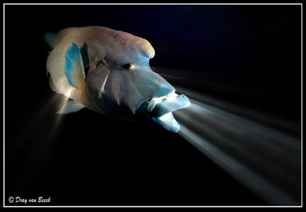 The napoleon wrasse swallowed my torch... by Dray Van Beeck