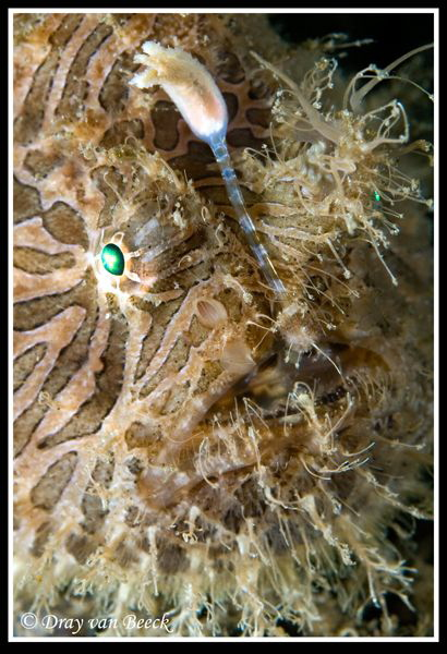 hairy frogfish by Dray Van Beeck