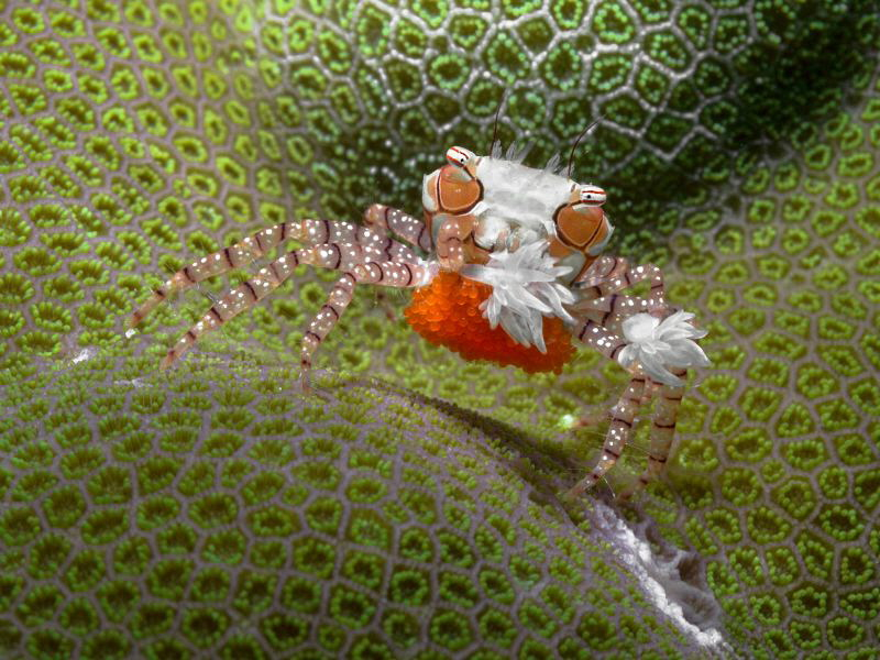 Lybia tassellata (boxer crab) with eggs. by Alex Varani