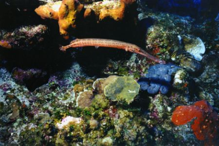 Trumpet Fish hanging out amongst the hard and soft coral.... by Matthew Shanley