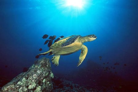 Green sea turtle on cleaning station, Big Island, Hawaii.... by Andre Seale