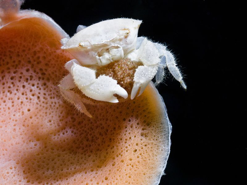 Dromia sp. (sponge crab) with eggs by Alex Varani