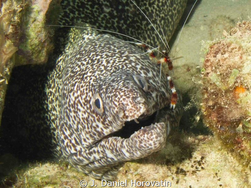 Banded shrimp cleaning spotted moray eel. by J. Daniel Horovatin