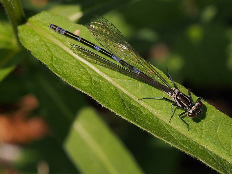 Damselfly (3 of 4): Now ready to fly and ... (Coenagriu... by Chris Krambeck