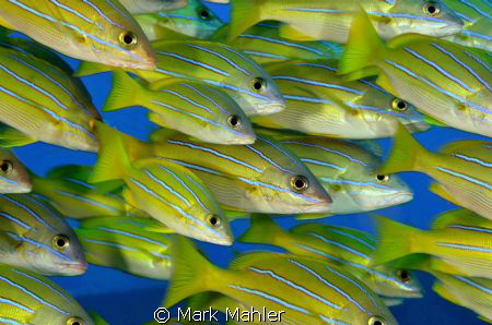 Hawaiian Blue Striper... by Mark Mahler