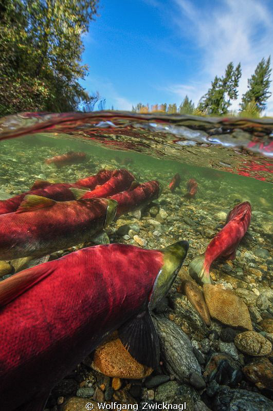 Sockeye Salmons heading to their mating grounds at Adams ... by Wolfgang Zwicknagl
