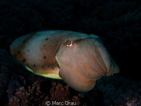 Cuttlefish in Djibouti by Marc Grau