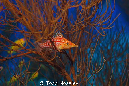 Hawkfish by Todd Moseley