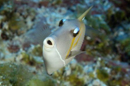 Scythe triggerfish, Namu atoll, Marshall Islands. D100, N... by Andre Seale