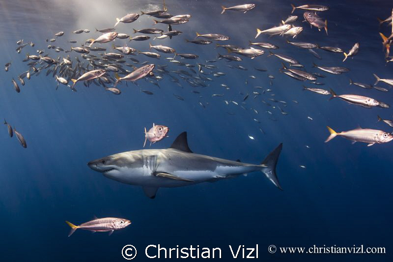 Isla Guadalupe, Mexico. Great White Shark swimming among ... by Christian Vizl