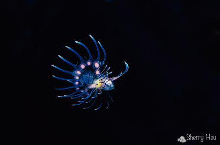 Flying~ Juvenile lion fish @ Tulamben, Bali by Sherry Hsu
