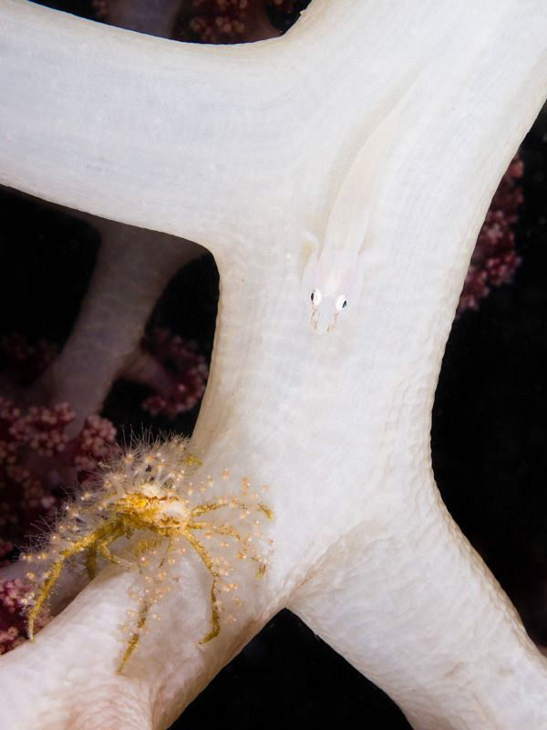 Decorator crab and wihite goby on soft coral by Alex Varani