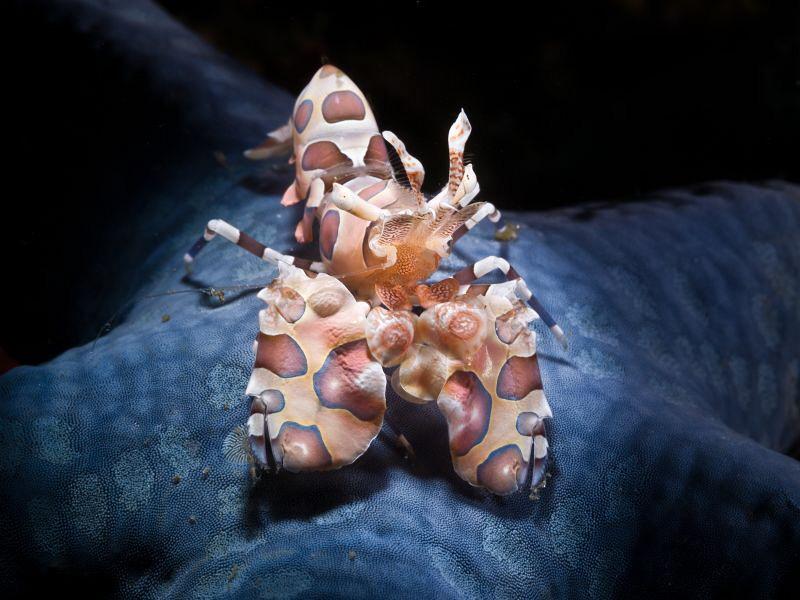 Snooted Arlequin shrimp (Hymenocera elegans) on blue sea ... by Alex Varani