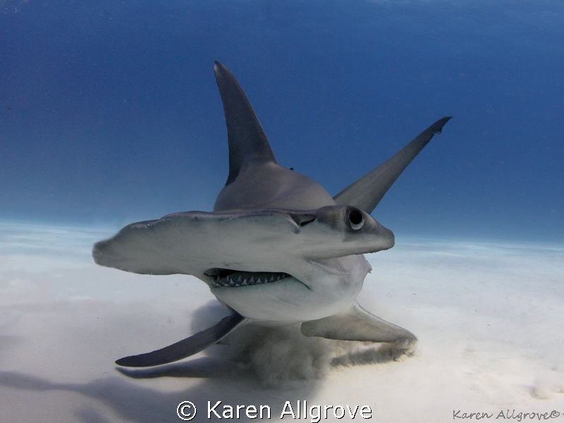 Great Hammerhead - stiring up the sand by Karen Allgrove