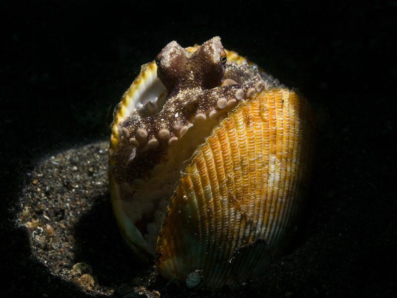 Amphioctopus marginatus snooted by Alex Varani