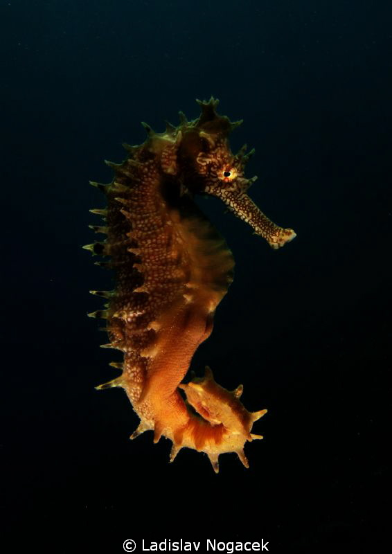 Seahorse swimm by Ladislav Nogacek