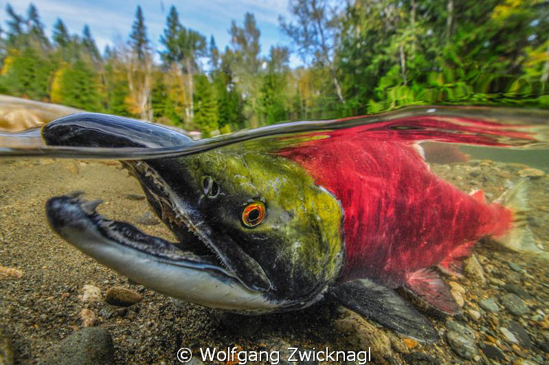 Male Sockeye Salmon taking a breath. by Wolfgang Zwicknagl