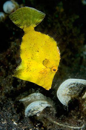 Juvenile Filefish, Lembeh by Paul Whitehead