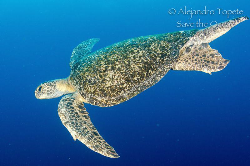 Big Turtle, Galapagos Ecuador by Alejandro Topete