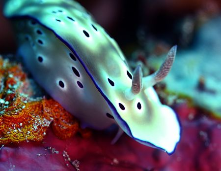 """""""Nude"""". Actually this nudibranch is a """"Chromodoris Kuniei... by Michael Canzoniero"""