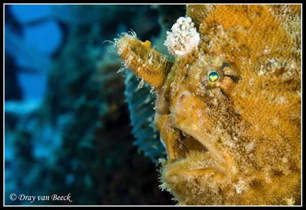 frogfish portrait in secret bay, bali by Dray Van Beeck