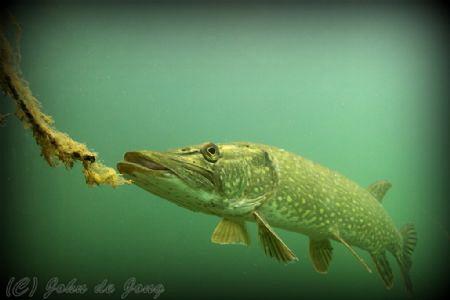 Pike during snorkling last weekend. by John De Jong