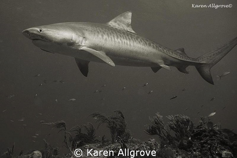 Tiger Beach