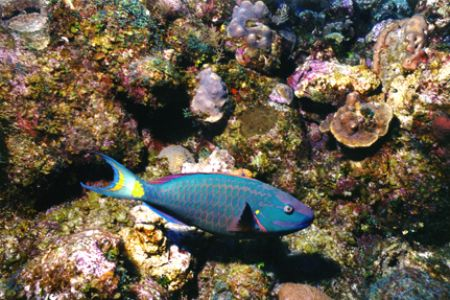 Stoplight Parrotfish. Taken off Providenciales, Turks and... by Matthew Shanley