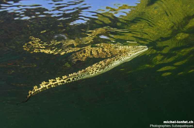 Young Adult Crocodile on the surface - Okavango Delta Riv... by Michel Lonfat