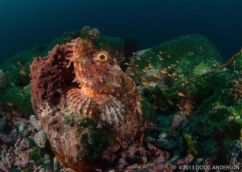 Scorpionfish, Pulau Weh by Doug Anderson