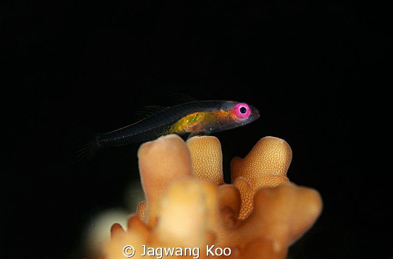 Pink-Eye Goby by Jagwang Koo
