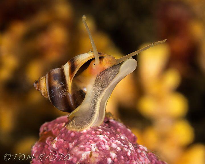 Snail Olympic Peninsula, WA, U.S.A. by Tom Radio