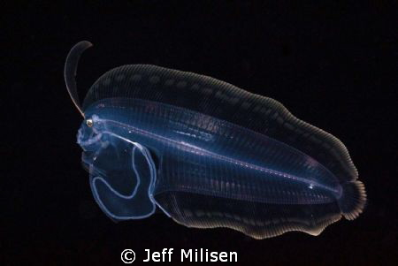 This larval flounder was observed on a blackwater dive of... by Jeff Milisen