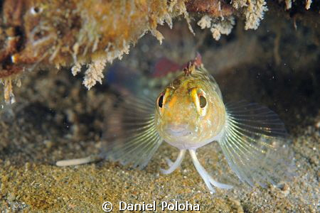 Triplefin on guard in front of its cave by Daniel Poloha