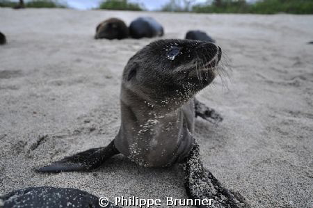 Lovely baby's sea lion by Philippe Brunner