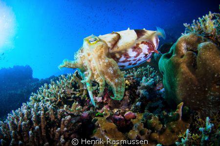 Cuttlefish on reef. Taken with a canon 50D, Tokina 10-17m... by Henrik Rasmussen