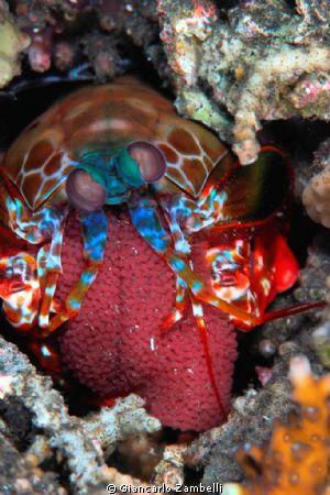 mantis shrimp with eggs by Giancarlo Zambelli