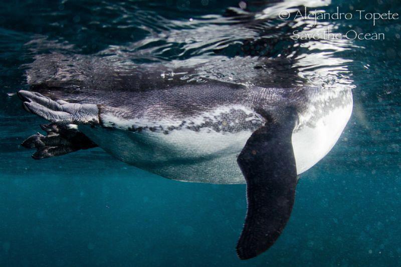Pinguin on surface, Galapagos Ecuador by Alejandro Topete