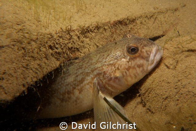 Niagara River Goby photographed on a night dive. by David Gilchrist