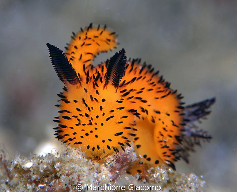 "Tiny nudibranche ""Pelouche"" Nikon d800E, 105 micro Nikon... by Marchione Giacomo"